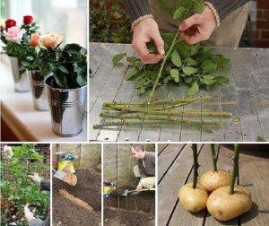 Картофельный метод черенкования