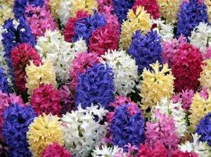 Домашние цветы – гиацинты