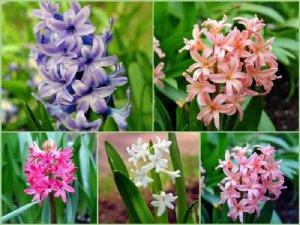 Цветы гиацинтов