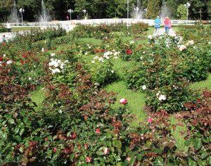 Ажурная посадка роз