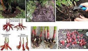 Размножение пионов делением куста
