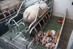 Дорослы свиньи и поросята