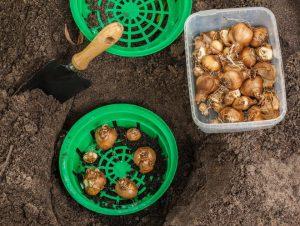 Зимнее хранение луковиц