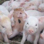 Организационные основы гибридизации свиней