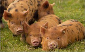 Пастбище со свиннями