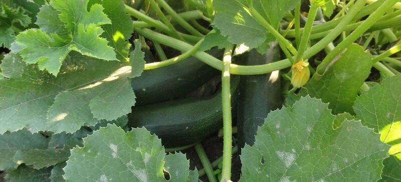 Выращивание кабачков в домашних условиях