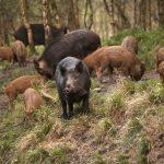 В Новгородской области решили провести  отстрел диких кабанов