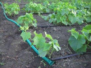 Организация капельного полива овощей в теплице