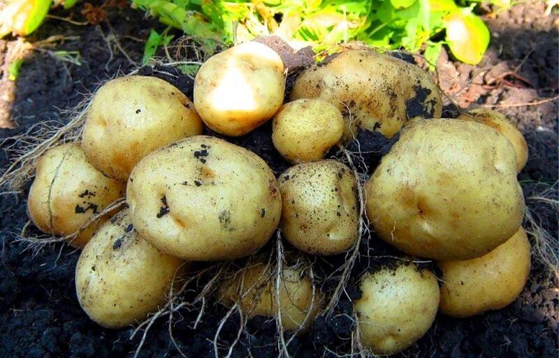 Картофель: как вырастить хороший урожай