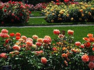 Планировка клумбы с розами