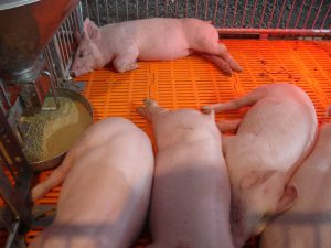 Свинарник со свиньями