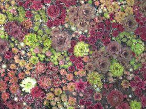 Монопосадка всевозможных разновидностей каменной розы