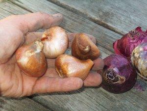 Луковицы тюльпанов перед посадкой