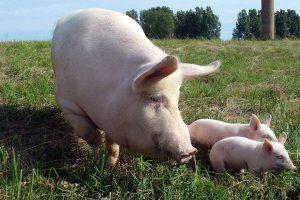 Свинья с двумя поросятами на пастбище