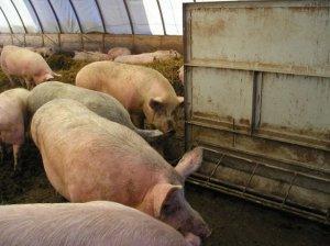 Заводской тип свиней