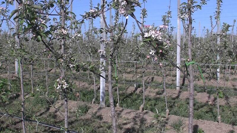 Обрезаем плодовые деревья