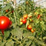 Выращиваем овощи в теплице: особенности посадки и ухода