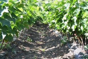 Виноградная школка перед чеканкой