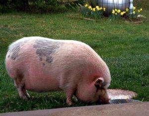 Большая свинья на поляне