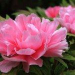 Посадить пионы весной: особенности и уход