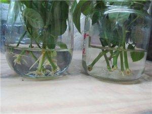 Размножение черенками плетистых роз