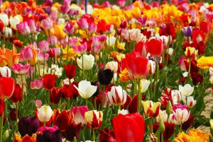 Поле с тюльпанами