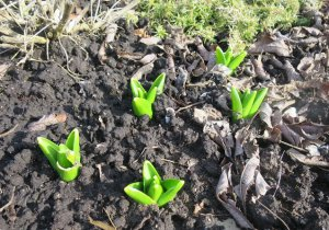 Почва для гиацинтов