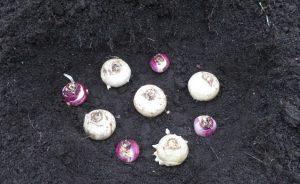 Посадка гиацинтов в саду