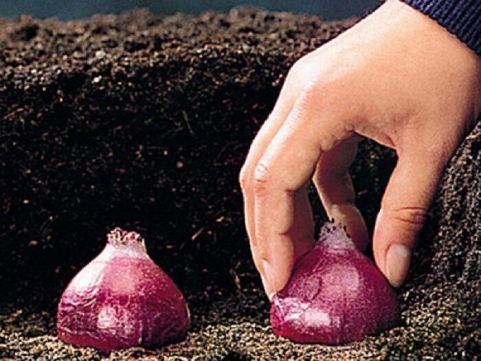 Выращивание гиацинтов в грунте