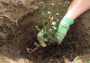 Высаживание розы в открытый грунт