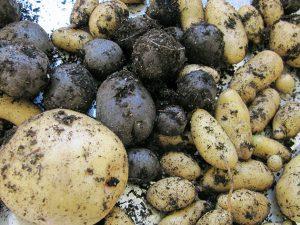 Овощ картофель после сбора урожая