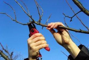 Правильная обрезки деревье