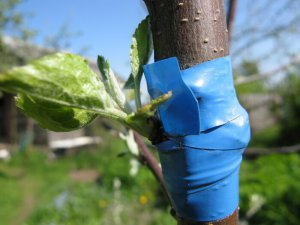 Правила прививки плодового дерева
