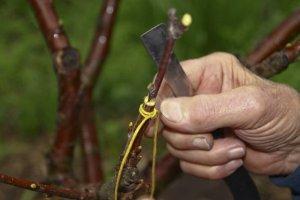 Прививка дерева в саду
