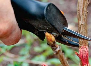 Размножение древовидного пиона черенками