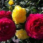 Розы с черенков: особенности выращивания и уход