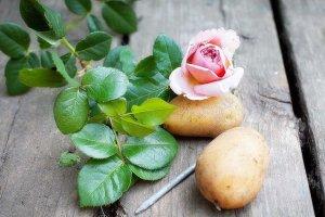 Вырастить розу из картошки