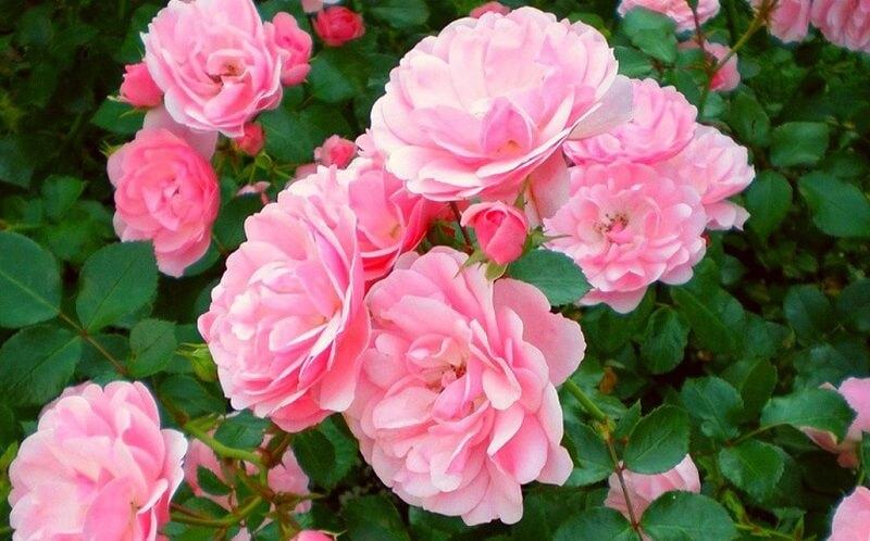 Выращивание розы в саду: особенности посадки и выбора сорта
