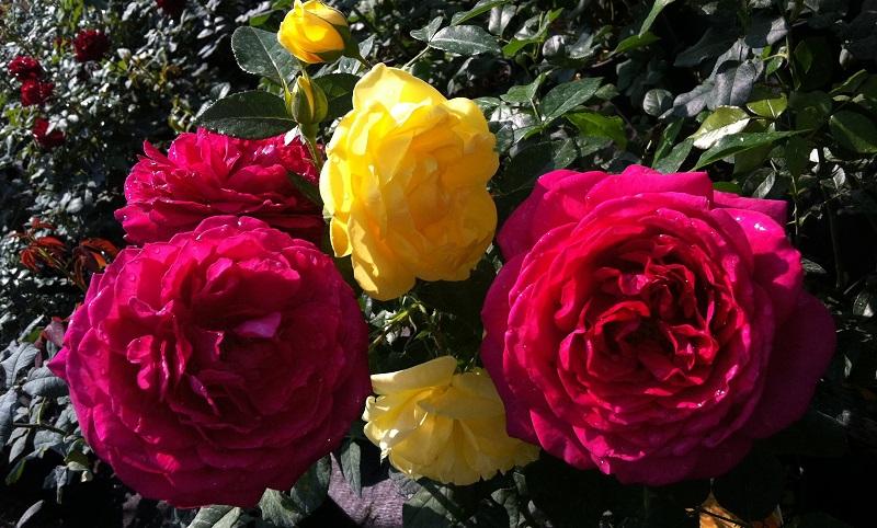 Выращивание роз: особенности посадки и ухода