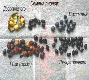 Различные виды семян пиона