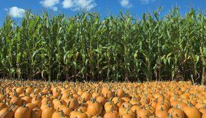 Выращивание кукурузы и тыквы