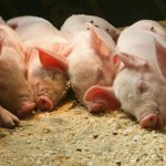 Разведение свиней по линиям