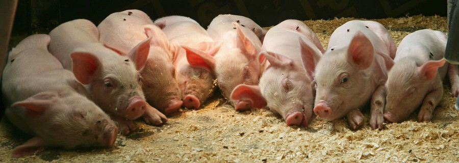 Метод разведения свиней по линиям