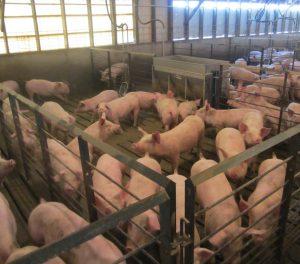 Клетки с свиньями