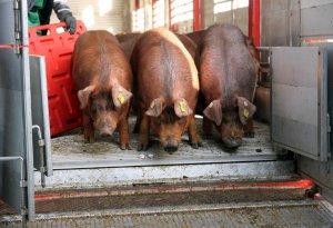 Племенные свиньи из Канады
