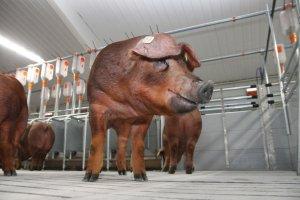 Площадка по разведению чистопородных свиней породы дюрок