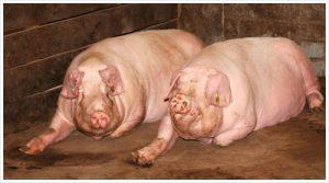 Две взрослые свиньи