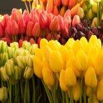 Тюльпаны в мае: особенности посадки и ухода