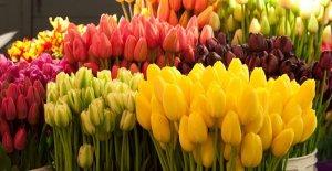Тюльпаны в мае: особенности посадки