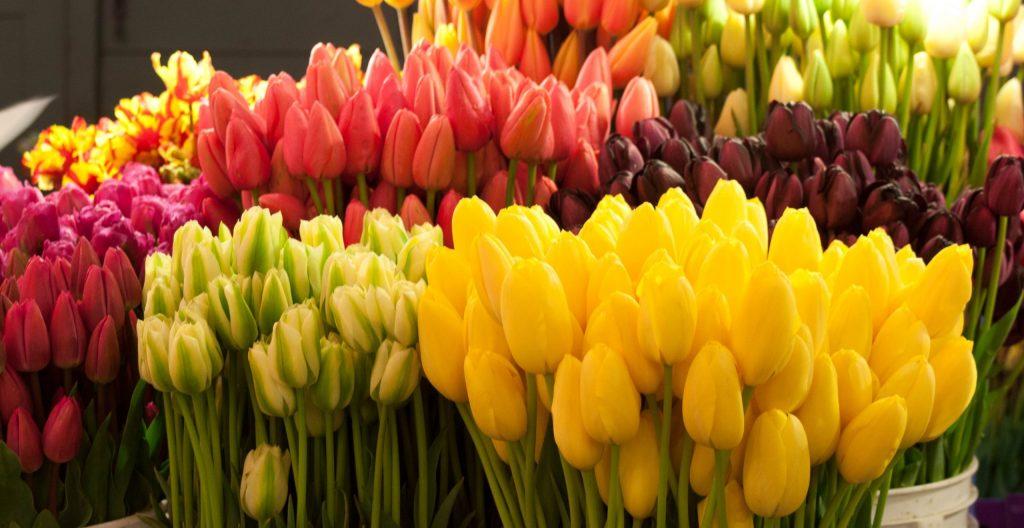 Можно ли посадить тюльпаны в мае
